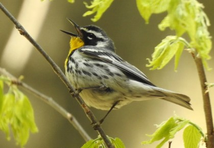 Yellow-throated Warbler is courting regular status in Minnesota, where this one appeared at the Reservoir Woods Park in Ramsey Co from 6–8 May 2021. Here photographed on 7 May. Photo © Frank Fabbro.