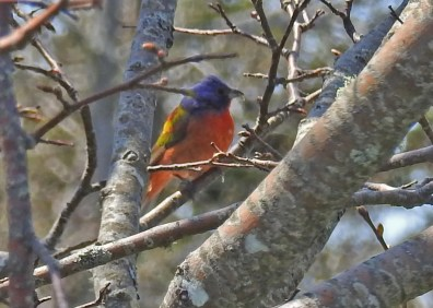 This Painted Bunting was an unexpected yard bird for Brian and Andree Samson in L'Ardoise Crossroads, Richmond Co 19 May 2021. Image 19a taken by Billy Digout 19 May 2021; image 19b taken 21 May 2021 by Karen Burke. Photo © Billy Digout, Photo © Karen Burke.