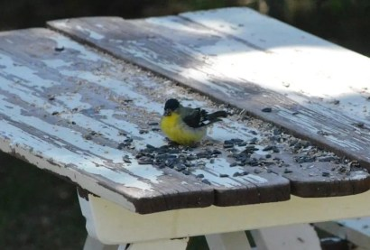 This Lesser Goldfinch at Mountain View on 6 May 2021 represented about the 10th record for Alberta. Photo © Nancy West.
