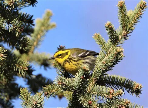 This female Townsend's Warbler visited Broadview, Saskatchewan on 5 May 2021. Photo © Don Weidl.