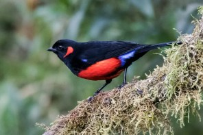 The feeders in the temperate forest of Yanacocha attract Scarlet-bellied Mountain-Tanagers Nick Athanas