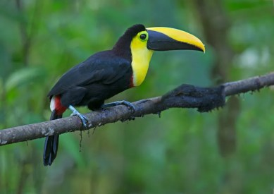 5 species of toucan are possible on this trip Pablo Cervantes D