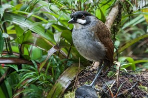 The Southern Ecuador extensions should get the iconic Jocotoco Antpitta Nick Athanas