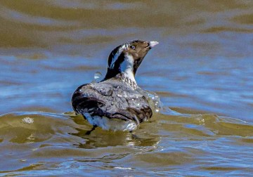 Delaware's first Ancient Murrelet was a one-day wonder on 24 June 2021. The Pacific species wanders into interior and even eastern North America, possibly because the Arctic Ocean is now ice-free in summer. Photo © Marc Butt.