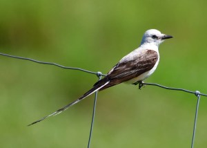 This Scissor-tailed Flycatcher, photographed here on 23 Jul near Mountjoy, Cochrane Co, was an excellent record for northeastern Ontario. Photo © Melanie Palik.