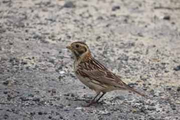 Lapland Longspurs are very rare in the Lower 48 during summer, but the Oregon coast has a handful of records. This Lapland Longspur photographed at Siuslaw River Mouth, Lane Co 22 June 2021 may be the second latest record after one from Euchre Creek, Curry Co on 10 July 2011. Photo © Terry Little.