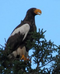 This Steller's Sea-Eagle, discovered by Gerry Issac along the Restigouche River, Restigouche Co, New Brunswick 28 June 2021 provided a considerable amount of excitement for regional birders. Last reported 23 July in the summer season within New Brunswick, this individual—pending acceptance—will provide the Atlantic Region with their first records for the species. This is the same individual that was reported on multiple occasions in the Gaspé, Quebec. Here photographed 29 June 2021 at Gillis Island, Restigouche River, Restigouche Co, New Brunswick. Photos © Andrew Olive.