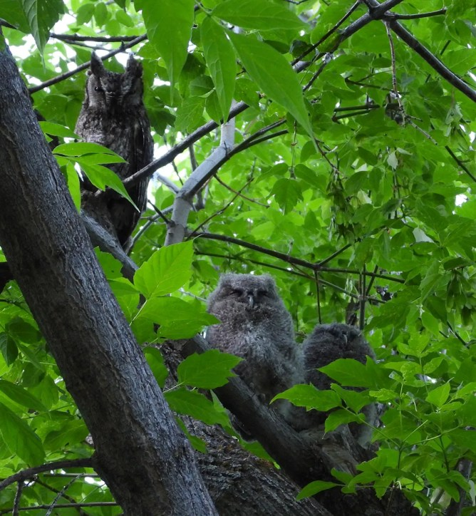 There have been a number of recent sightings of both Eastern and Western screech-owls in southern Alberta. Exact locations are usually kept secret, as was the case here with this adult Western Screech-Owl with fledglings during the summer of 2021. Photo © Evan W.