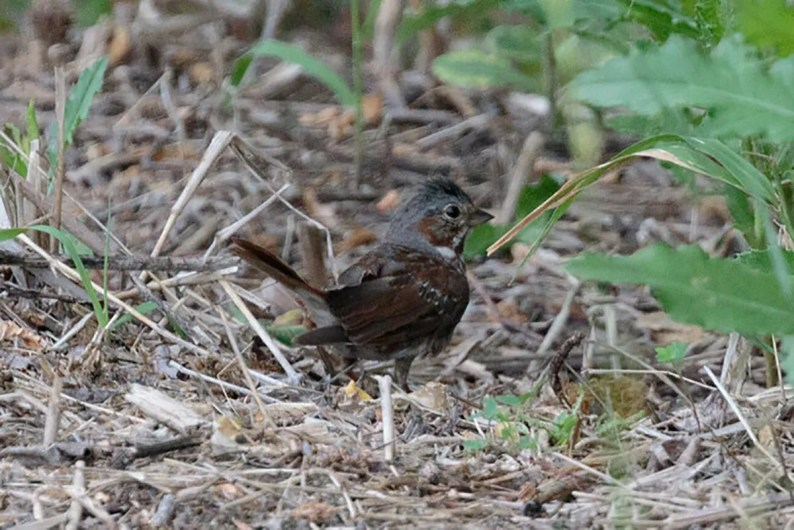 This Fox Sparrow at Camp Morton, Manitoba on 6 Jul 2021 represented one of very few summer records of this species in the southern prairie provinces. Photo © Bill Maciejko.