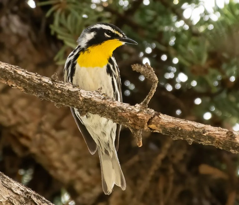 A few observers were lucky enough to this Yellow-throated Warbler on 2 Jun 2021, during its one-day stay at Regina, Saskatchewan. Photo © Annie McLeod.