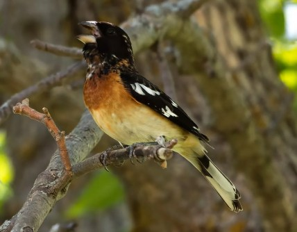 The ranges of Rose-breasted Grosbeak and Black-headed Grosbeak overlap in Saskatchewan, resulting in the occasional hybrid, such as this male at Roche Percé 12 Jun 2021. Photo © Annie McLeod.