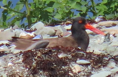 Casual to New Brunswick, a pair of American Oystercatchers first arrived on Kent Island, Charlotte Co, New Brunswick in June, and subsequently moved to nearby Bill's Islet, by 10 July 2021 where it appeared that the female had begun to nest. This image was taken 11 July 2021. Photo © Rhonda Langelaan.