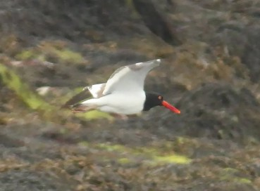 The pair of American Oystercatchers continued their presence on Bill's Islet, Charlotte Co, New Brunswick through the season with the female continuing on the nest. 17 July 2021. Photo © Gilles Belliveau.