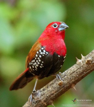 Red-throated Twinspot by Daniel Danckwerts