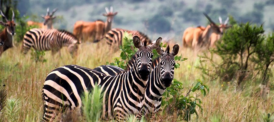 wildlife-rwanda-Rwanda-Safaris-and-Tours
