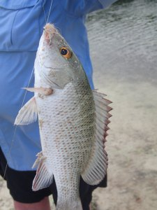 A type of Grunt - caught in the canal