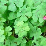 4-leaf-clover-many-1392612-m