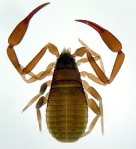 le pseudoscorpion ou faux scorpion aime