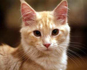 Animal Behaviour | Cat Behaviour - cute ginger kitten
