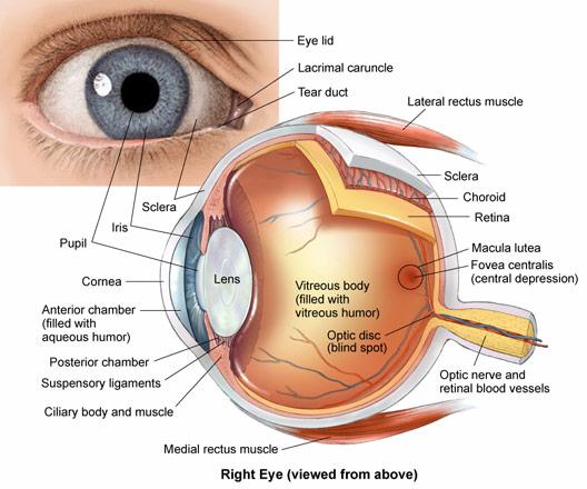 Risultati immagini per struttura occhio