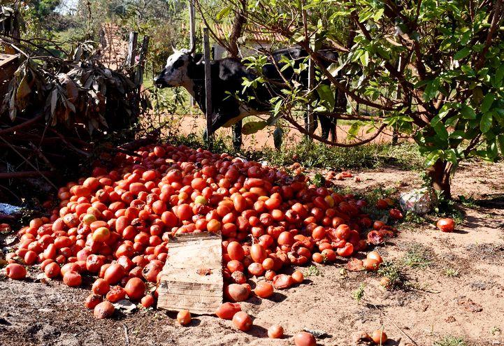 Las vacas ya están hartas  de  tanto comer tomates en Arroyos y Esteros, dijeron los productores.