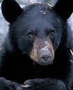 El secreto de la hibernación de los osos