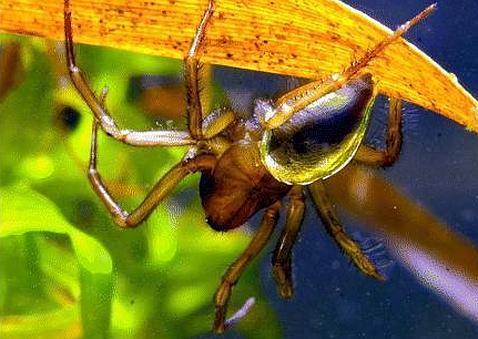 El secreto de las arañas que respiran bajo el agua