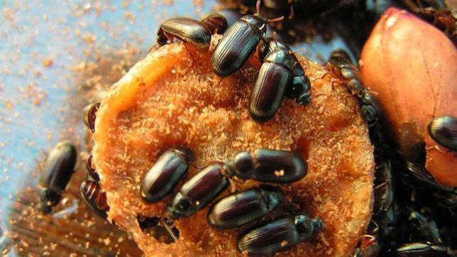 Las ventajas de la infidelidad, al menos entre escarabajos
