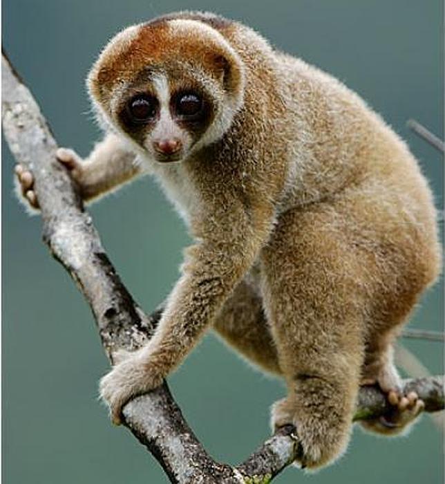 Un nuevo primate de mordisco tóxico aparece en Borneo