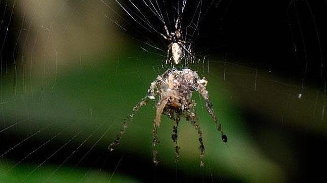 Una extraña araña fabrica una versión gigante de sí misma
