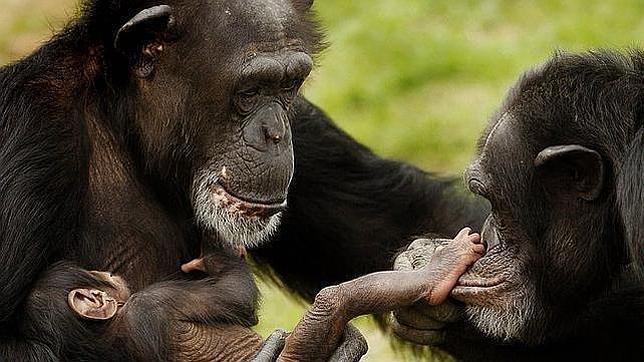 Cómo los chimpancés resuelven el juego del Ultimátum