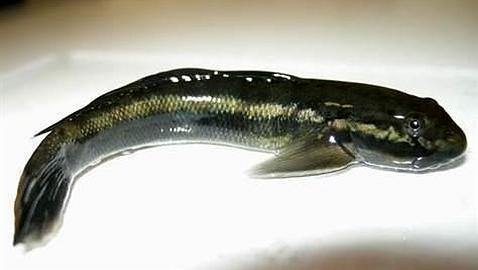 Los peces que trepan con la boca