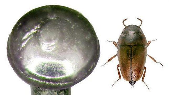 Descubren un escarabajo más pequeño que una cabeza de alfiler