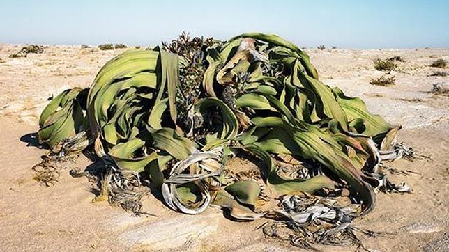 Welwitschia, 2.000 años