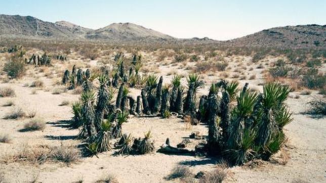 Yuca de Mojave, 12.000 años