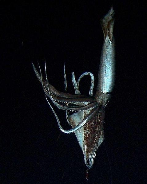 Los secretos del calamar gigante salen a flote