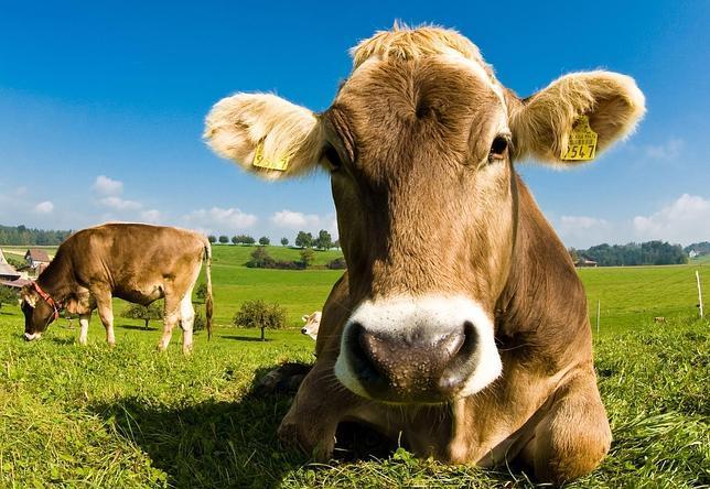 Científicos alteran genéticamente una raza de vacas para que nazcan sin cuernos