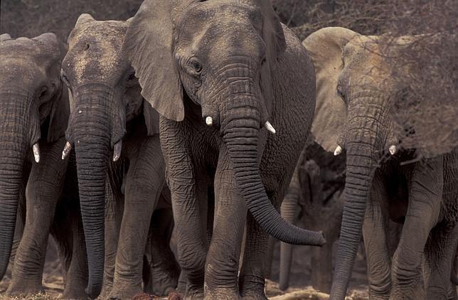 ¿Por qué los elefantes comen tierra?