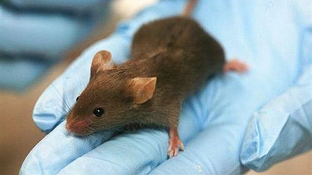 Consiguen regenerar el corazón muerto de un ratón con células madre humanas