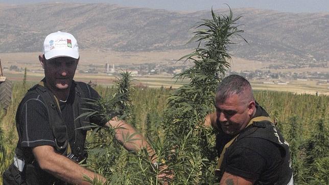 El hachís libanés florece a la sombra de la guerra siria