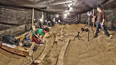 Desentierran un varamiento masivo de ballenas de hace 9 millones de años