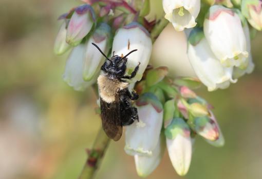 Una abeja de la especie Andrena canlini polinizando una flor