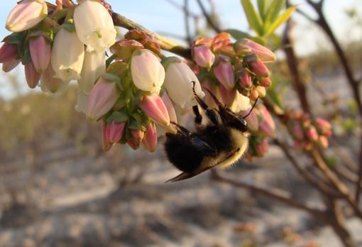 Un abejorro polinizando una flor de arándano