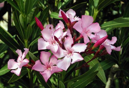 La flor de la adelfa