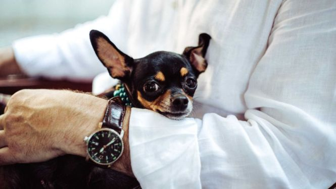 Man Holds Chihuahua On His Lap For A Story About Whether You Should Have Dog