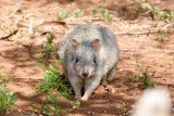 A small grey bettong.