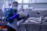 a worker in a hair net holding a fish with barramundi behind.