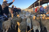An auctioneer sells lambs in a pen, with sellers and buyers looking on