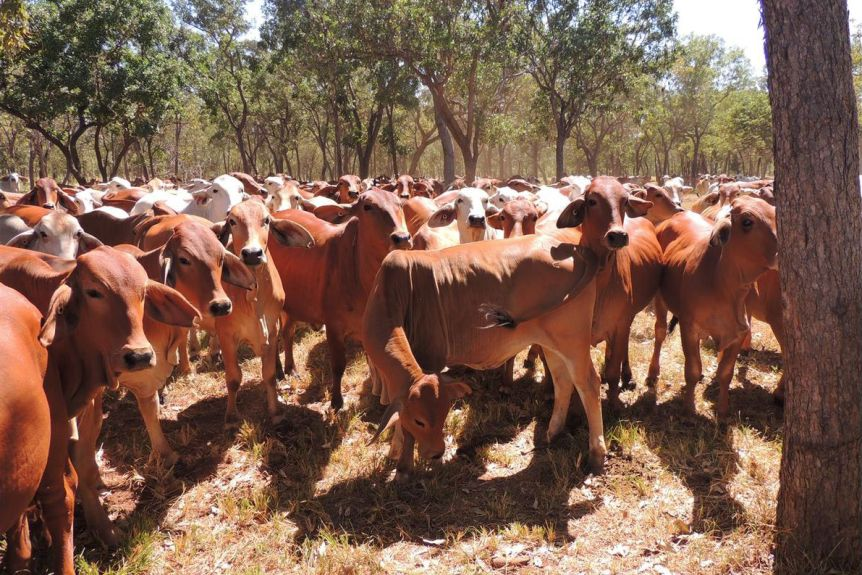 red and grey Brahman cattle in a paddock with trees in the background.