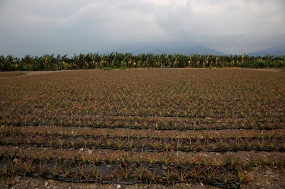 A field of pineapples.
